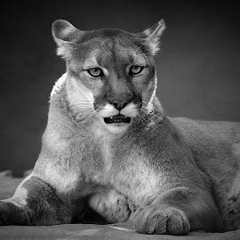 Mountain Lion Portrait in B&W by Shawn Thomas - Black & White Animals