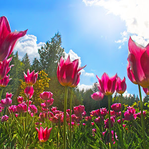 Tulips in the sunshine.jpg