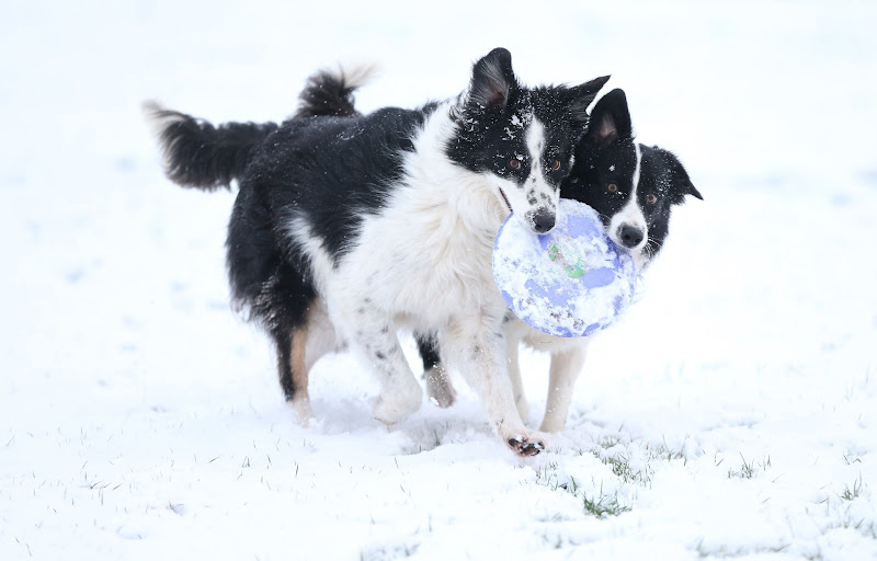 Photo: Two border collie dogs enjoy playing in the snow in Bingham, Nottinghamshire, as the first wave of snow will hit most of the country and some eastern parts of Wales but a second heavier band will fall over central and eastern England later in the day. PRESS ASSOCIATION Photo. Picture date: Monday January 14, 2013. See PA story WEATHER Snow. Photo credit should read: Mike Egerton/PA Wire