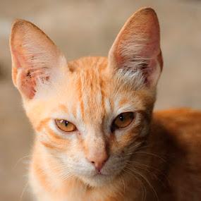 by Christof Mahengkeng - Animals - Cats Portraits