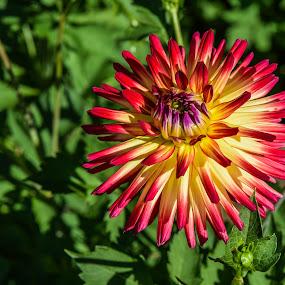 shine  on  the sun by Marjan Gresl - Flowers Flower Gardens ( red flower, oly one, close up, flower )