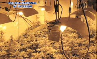Seis detenidos y 1.200 plantas de marihuana en Pescadería