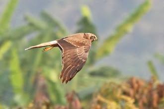 Photo: Pied Harrier