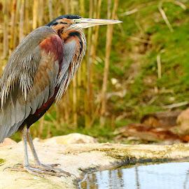 Pourpré au bord de l'eau by Gérard CHATENET - Animals Birds