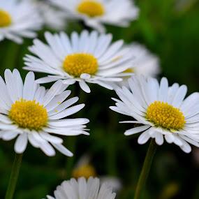 Daisies by Valentina Masten - Flowers Flower Gardens
