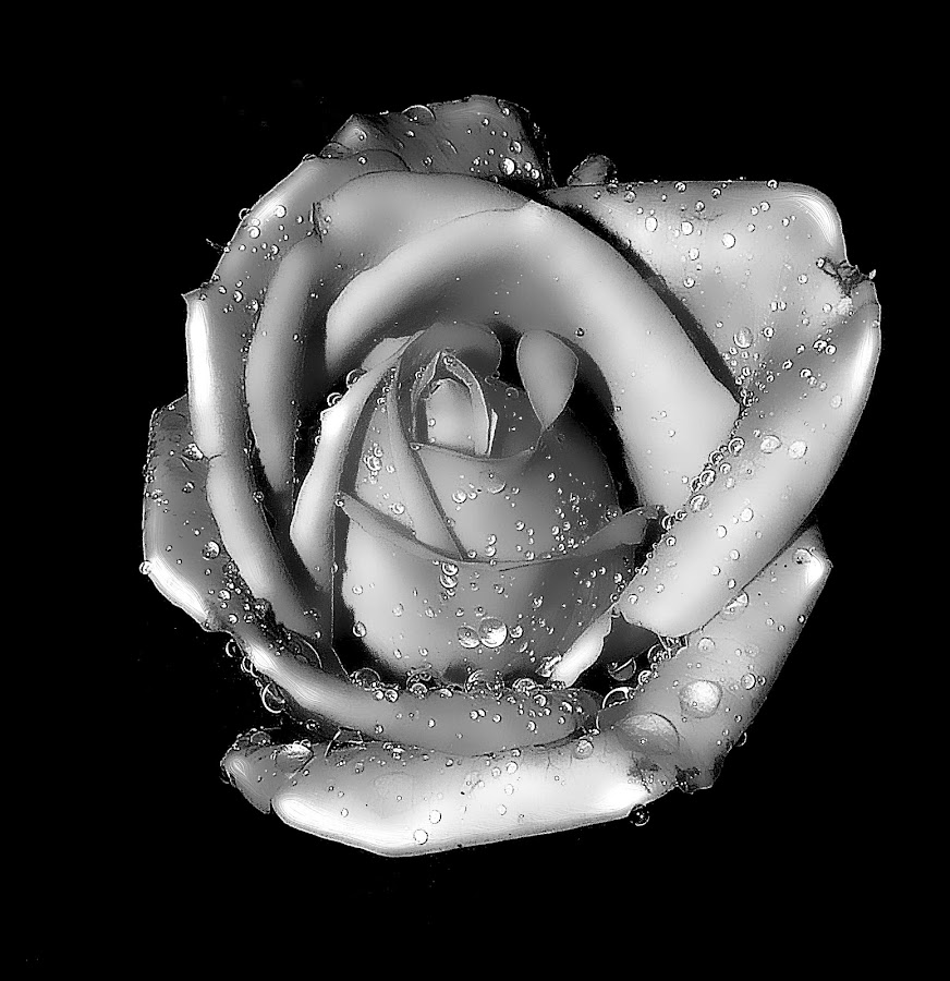rose by Capucino Julio - Black & White Flowers & Plants ( rose, nature, white, black, droplets )