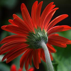 Red Gerbera by Millieanne T - Flowers Single Flower