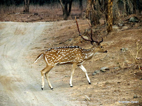 Photo: Chital deer forms one of the large prey base for bigger predator of Gir NP