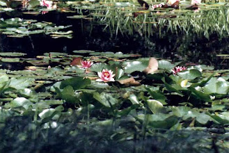 Photo: Liily Pads Blooming Lake Hebo Oregon