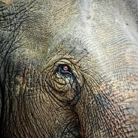 Bulls Eye by Mrigankamouli Bhattacharjee - Animals Other Mammals ( pachyderm, elephant, india, mammal, eye )