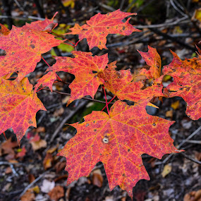 MAPLE LEAVES by Marc-Andre Grenier - Nature Up Close Leaves & Grasses ( red, fall colors, fall, leaves, maple leaves, maple )