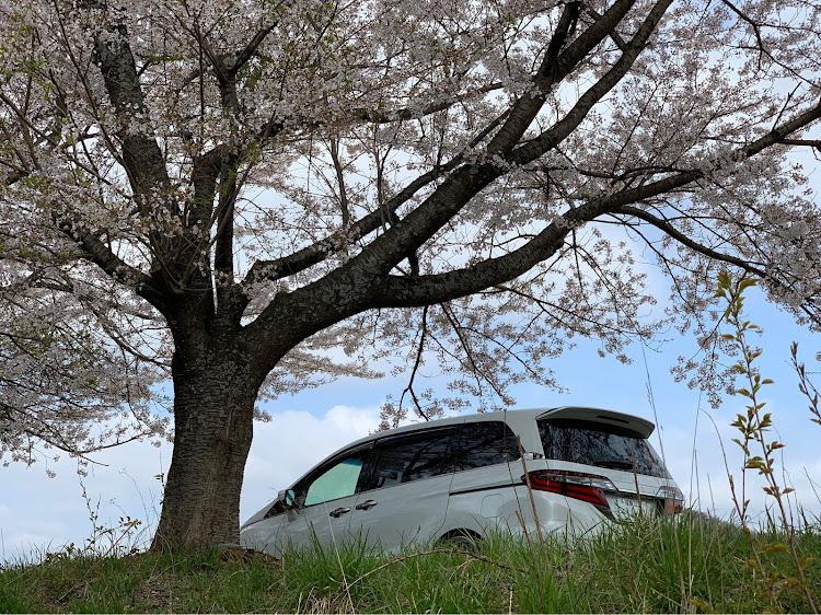 オデッセイ RC1のコロナウイルスに負けるな,桜とコラボもお終い,流行り?,意外にうまい,後ろから撮影に関するカスタム&メンテナンスの投稿画像3枚目