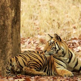 Bengal tiger by Saumitra Shukla - Animals Lions, Tigers & Big Cats ( wild, nature, tiger, beautiful, wildlife, yellow, travel, stripes, animal )