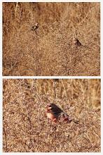 Photo: 撮影者:佐藤哲郎 ベニマシコ タイトル:冬鳥一斉調査でのベニマシコ 観察年月日:2015年1月11日 羽数:4羽(♂2羽、♀2羽) 場所:浅川左岸大和田橋下流側草地 区分:希少 メッシュ:八王子8J コメント:今シーズンはベニマシコが豊作です。この地点で♂2羽、♀2羽が草の実を食んでいました。なお、この後さいかち池付近でも3羽(声)を確認しました。