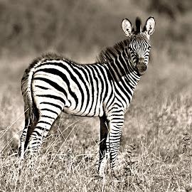 Baby Zeb by Pieter J de Villiers - Black & White Animals