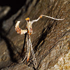 Anything other than a Plume Moth