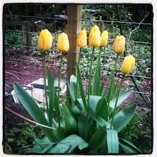 Photo: tulps 26-4-15