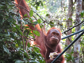 Photo: Semenggoh Orangutan Rehabilitation Centre