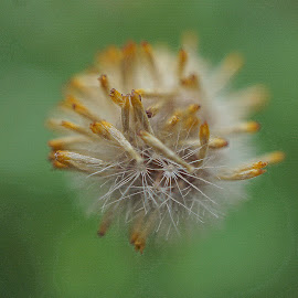 Daisy Seedhead by Gillian James - Nature Up Close Other plants ( close up, seed, seedhead, daisy, filament )