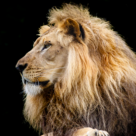 Lion by Buddy Woods - Animals Lions, Tigers & Big Cats ( cats, king of the jungle, lion, cat, lions, male lion,  )