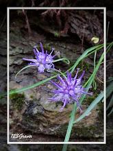 Photo: Raiponce hémisphérique, Phyteuma hemisphaericum copie