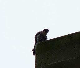 Photo: Peregrine Falcon