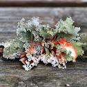 Parmotrema Lichen