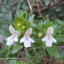 White Hedge-Nettle