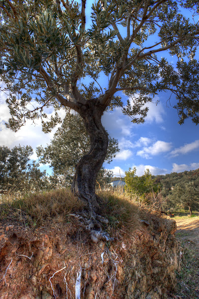 Photo: A lone olive tree along a path in Trizina, Greece.