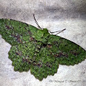 Green Herochroma