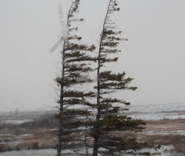 "Photo: It gets so windy and cold in Churchill that the tree buds on the windy side of the tree cannot grow, and the trees become known as ""flag trees"""