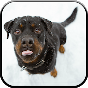 New HD Rottweilers Wallpapers