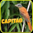 Ouça o Canto do Pássaro capitão da mata icon