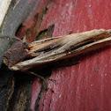 American Swordgrass Moth