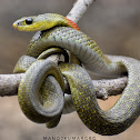 Red-Necked KeelBack ( Venomous )