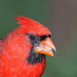 Cardinal in my Backyard by Jerry Hoffman - Animals Birds (  )