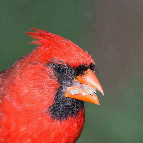 Cardinal in my Backyard by Jerry Hoffman - Animals Birds (  )
