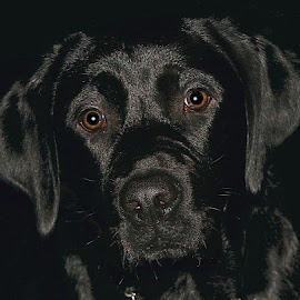 Black Lab by Chrissie Barrow - Animals - Dogs Portraits ( labrador, fur, black background, black, portrait, dog, eyes, pet )