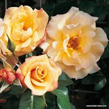 Photo: Kletterrose Moonlight®-Kordes' Rose Moonlight®, Züchter: W. Kordes' Söhne 2004
