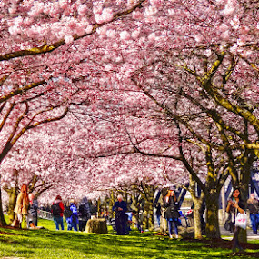 Sakura Blossoms by Dennis Mai - City,  Street & Park  City Parks ( park, sakura, pink, spring, blossoms )