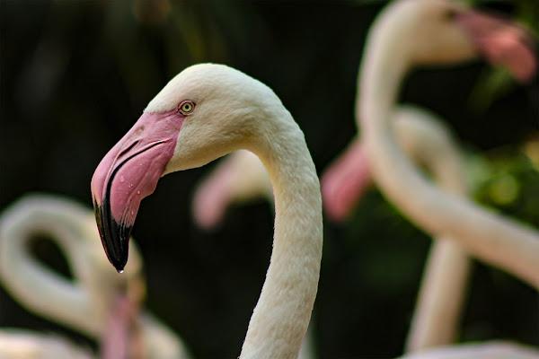 Fenicottero rosa di Bibanto