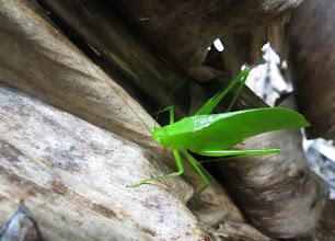 Photo: Green grasshopper