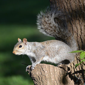 Gray squirrel by Eddy Dufault - Animals Other Mammals