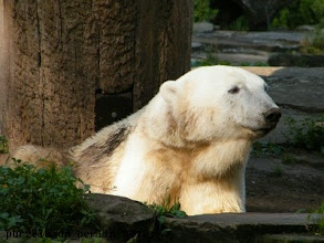 Photo: Knut gruesst frueh aus der Schlafkuhle :-)