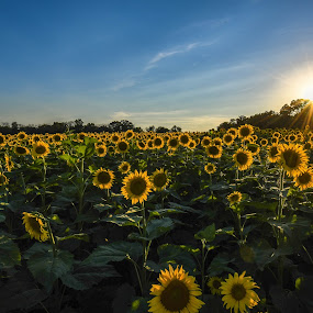 Sunflower field by Valerie Dyer - Landscapes Prairies, Meadows & Fields ( sunflower field )
