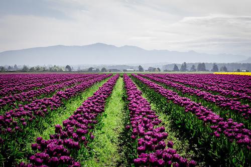 Purple Tulips by Jenny Hammer - Flowers Flower Gardens ( spring, pretty, flowers, tulips, nature )