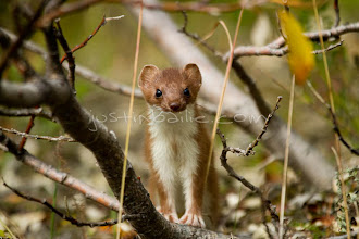 """Photo: Weasel as seen near the Tashenshini River. The """"Tat"""" flows out of Yukon, CA, through British Columbia and empties into Glacier Bay National Park in Alaska, US. near the Tashenshini River. The """"Tat"""" flows out of Yukon, CA, through British Columbia and empties into Glacier Bay National Park in Alaska, US."""