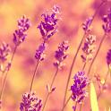 wallpaper lavender icon