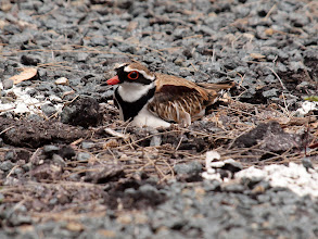 Photo: Black-fronted Dotterel on nest in car park