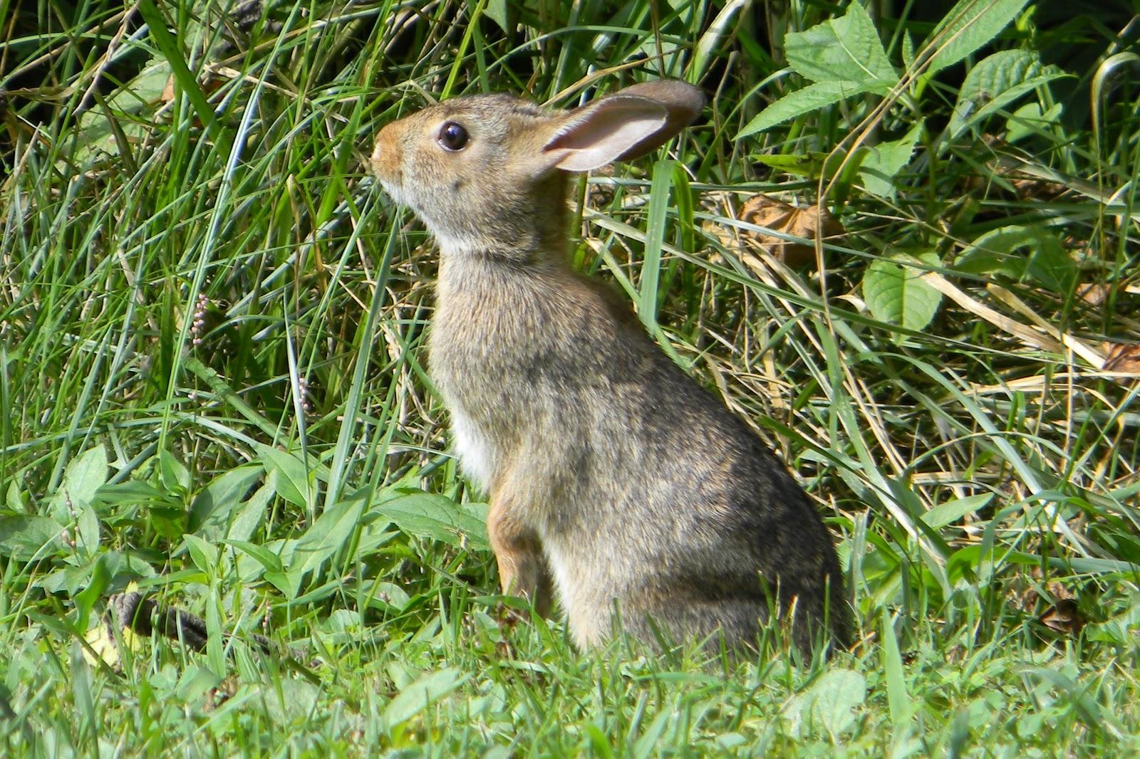 Rabbit_in_Field.jpg